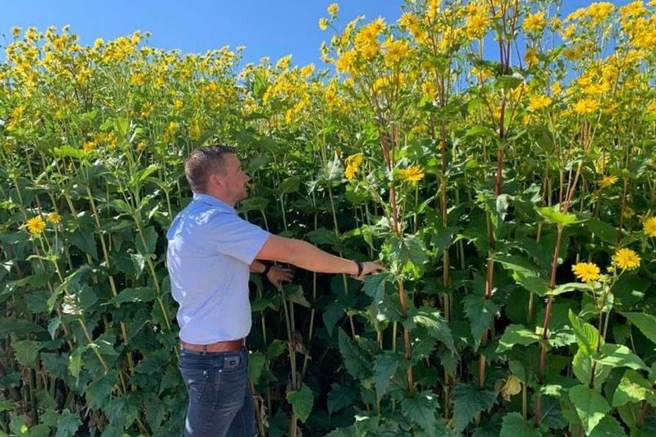 Réchauffement climatique : la silphie, plante miracle contre la sécheresse et les pesticides, en test dans les Vosges
