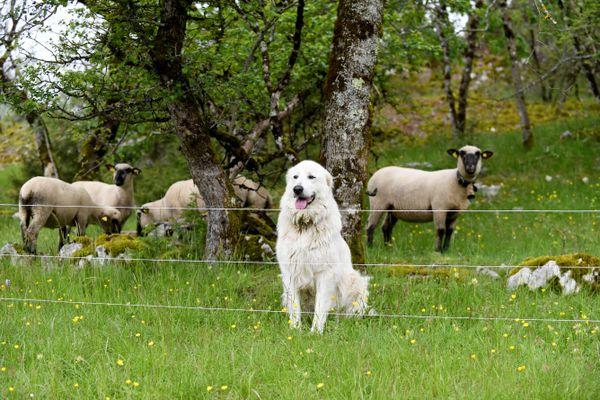 Image d'illustration. Les chiens de sécurité et les barrières électrifiées font partie des mesures de protection préconisées contre les attaques de loups.