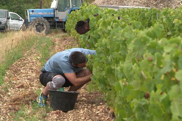 Dans les vignobles d'Irancy, six détenus vendangent avec les autres saisonniers.