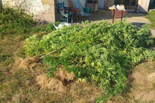 Lundi 14 septembre, 7 pieds de cannabis ont été saisis dans le jardin d'un habitant de Thenueille dans l'Allier.