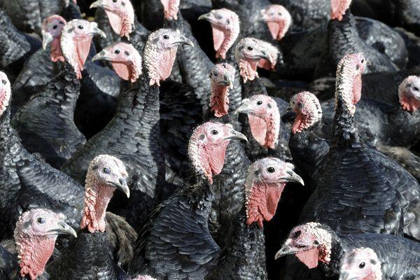 8 500 dindes seront abattues dans un élevage de La Jumellière en Maine-et-Loire touché par la grippe aviaire