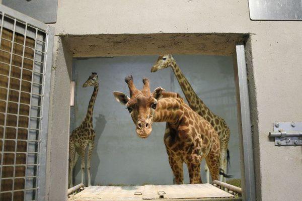 La principale difficulté pour les soigneurs de troupeaux captifs de girafes est encore de les divertir.