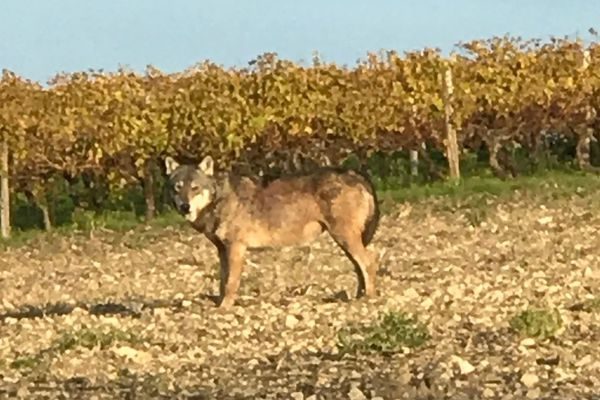 Le loup gris, photographié à Saint-Thomas de Conac, le long d'une parcelle de vigne.