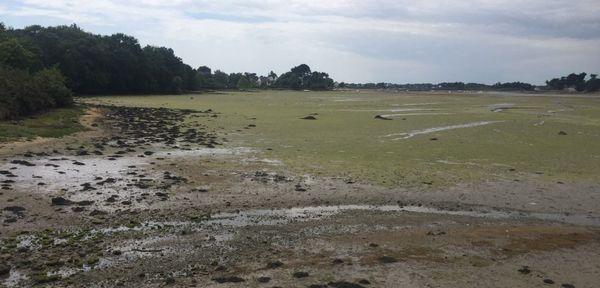 Les algues vertes sur la rivière d'Etel
