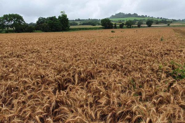 Cette année les rendements sont bons mais la pluie fait germer les grains
