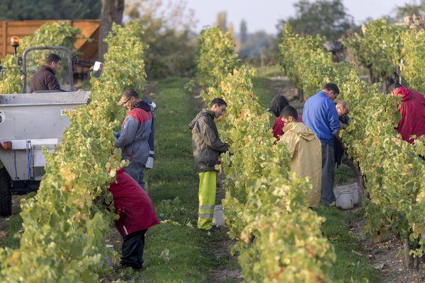 MaxPPP - Les vendanges par des travailleurs étrangers (photo d'illustration).