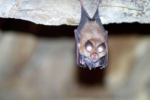 Le petit rhinolophe élève généralement sa progéniture (dont on aperçoit les petites ailes et les pattes) dans les caves ou les combles.