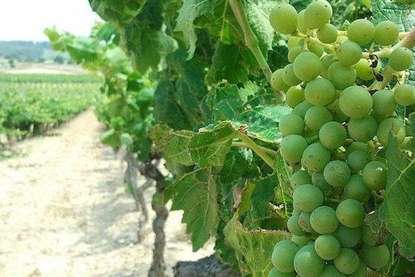 Aude - le vignoble en été- juillet 2013.
