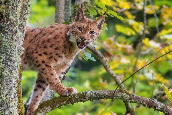Un lynx surpris au coeur de la forêt de Chartreuse