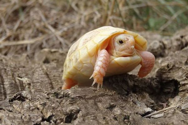 Une tortue albinos née le 16 septembre à Sorède, dans les Pyrénées-Orientales - septembre 2015