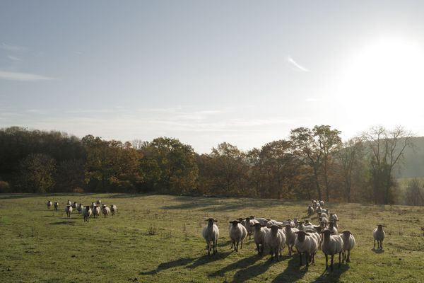 """Vigneulles octobre 2020. """"On a pas le choix car c'est notre devoir de continuer notre activité de ferme d'élevage"""", raconte Olivier Simonin."""