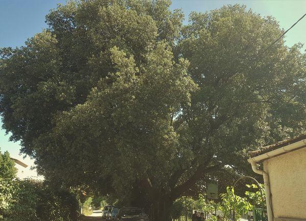 La bétonisation et le passage des engins de chantier risquent d'abîmer les racines de cet arbre centenaire