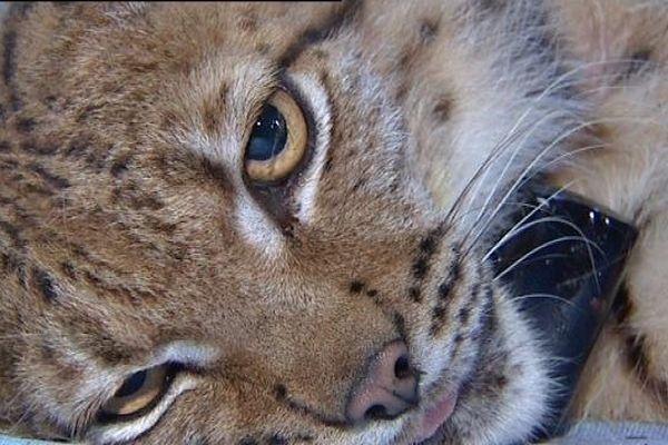 Vogna, du nom du lieu où le jeune lynx a été capturé, a été relâché après une consultation publique qui a réuni 1500 participants.