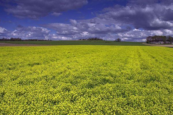 La moutarde brune, est une plante bisannuelle de la famille des Brassicacées, cultivée pour ses graines servant à la préparation de condiments.