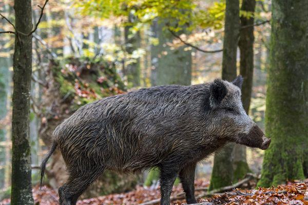 Un sanglier en forêt des Ardennes, nov.2018. (photo d'illustration)