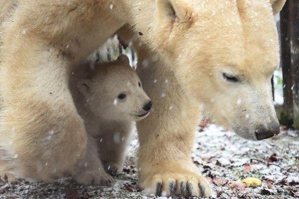 Archive : Nanuk a fait ses premiers pas à l'extérieur en hiver.