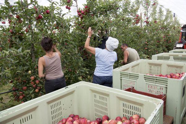 Les saisonniers illégaux étaient notamment employés pour le ramassage des pommes.