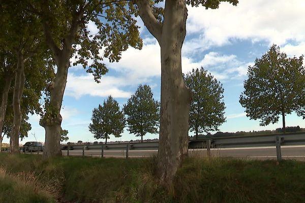 A Aigues-vives le long de la RN 113, la préfecture a décidé d'abattre une centaine de platanes