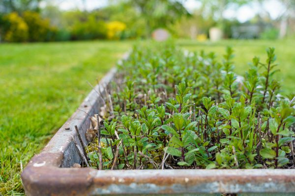 Les plants de menthe s'épanouissent dans un ancien abreuvoir sans coloniser le reste du jardin
