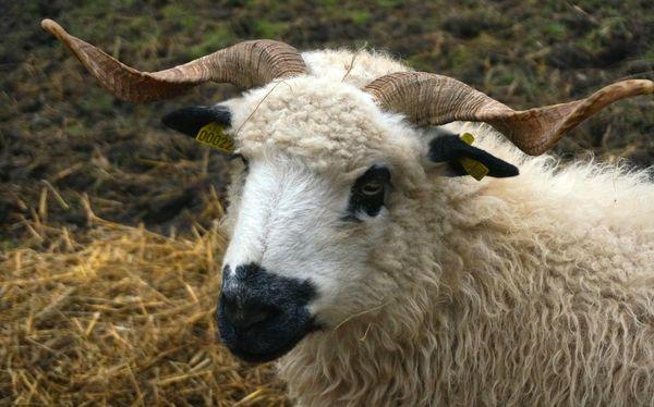 Un élevage de moutons également pour cette femme qui a toujours désiré être agricultrice