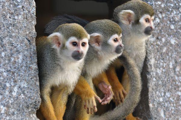 2 singes saïmiris ont été volés à Port-Saint-Père en Loire-Atlantique