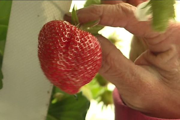 Le mois d'avril est la pleine période du ramassage des fraises dans le Finistère