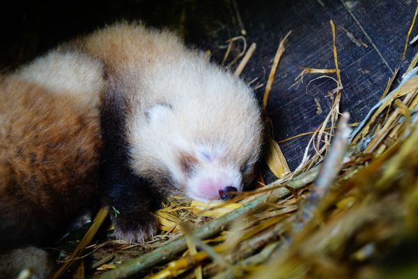 Première photo prise à la naissance, de l'un des deux pandas roux au zoo de Trégomeur