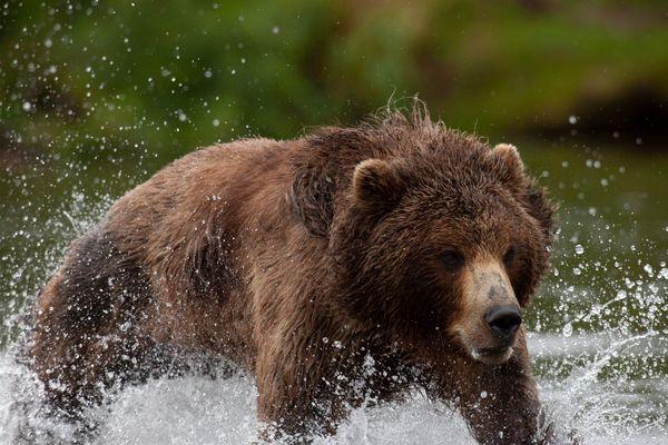Rémy et Catherine Marion exposent leur passion des ours à Montier-en-Der.