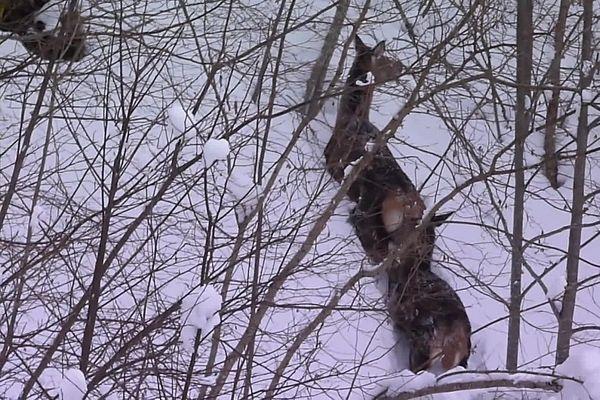 Dans le Cantal, certains animaux se sont fait surprendre par la neige et n'ont pas pu descendre de la montagne pour hiverner.