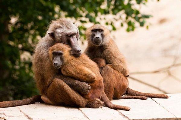 150 primates vivent au Refuge de l'Arche