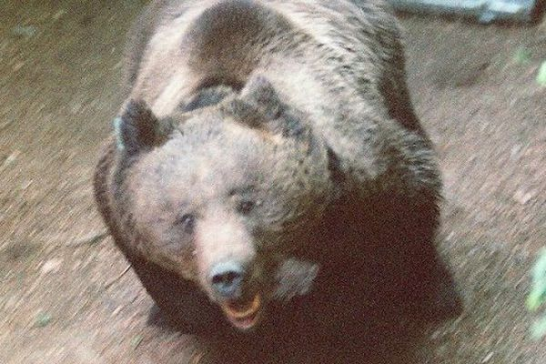 Lâcher de l'ours Pyros à Melles le 2 mai 1997
