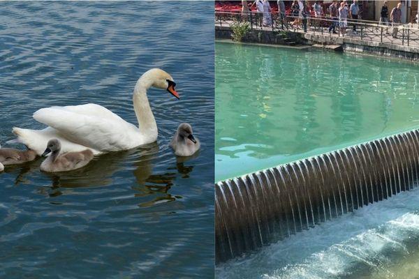 Plusieurs bébés cygnes se sont noyés, pris dans les remous du Thiou à Annecy.