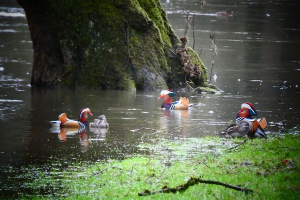 Quand les petits mandarins prennent la vedette aux colverts de la vallée, personnes ne se plaint dans les Ardennes