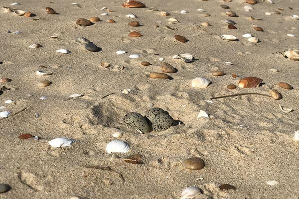 Les œufs des gravelots sont presque invisibles sur le sable.
