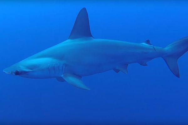 Un requin-marteau à l'âge adulte