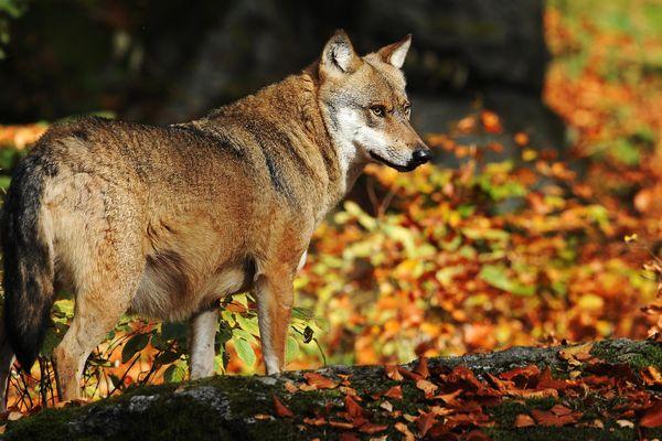 Six loups ont été prélevés dans les Hautes-Alpes depuis le début de l'année.