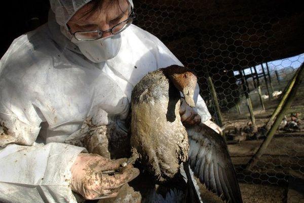 Un technicien vaccine un canard lors de la précédente épidémie de grippe aviaire le 1er mars 2006 à Villars-Les-Dombes.