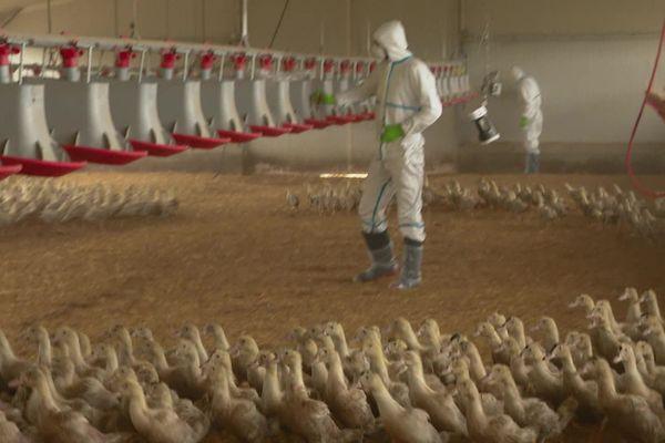Intervention de services vétérinaires dans les élevages dans la zone touchée par le virus en Chalosse - Janvier 2021