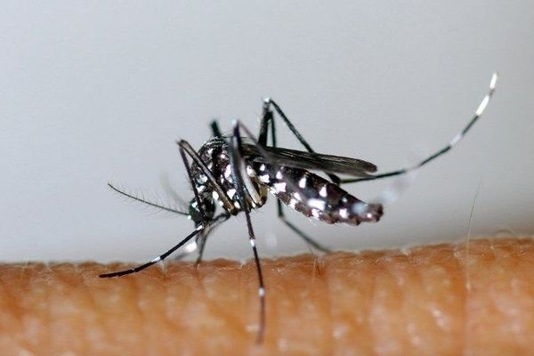 Le moustique tigre véhicule le virus