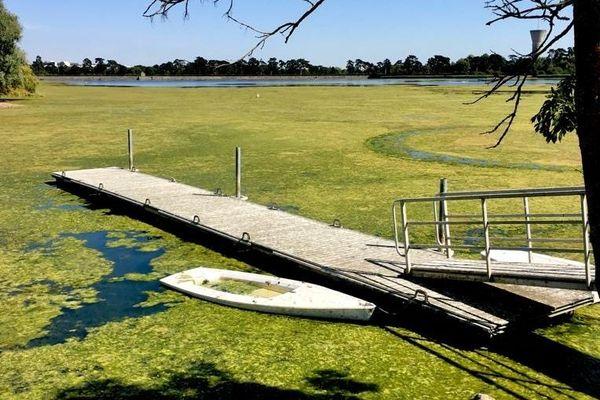 Des algues vagues ont envahi une partie de l'étang de Saint-Quentin-en-Yvelines