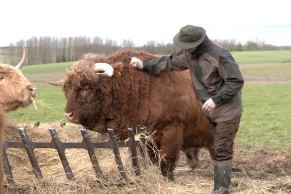 Des vaches highlands dans la vallée de la Cisse