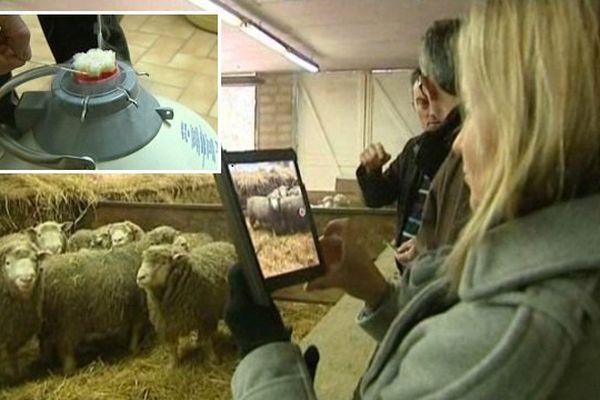 La sélection génétique au service des performances de l'élevage ovin.