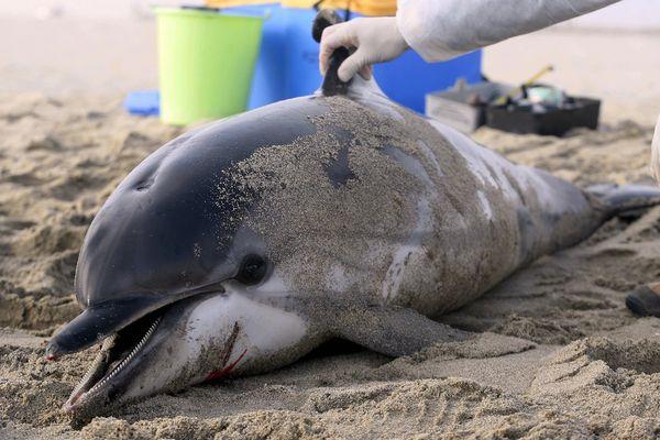 Un dauphin a été retrouvé échoué sur une plage d'Oléron en Charente-Maritime