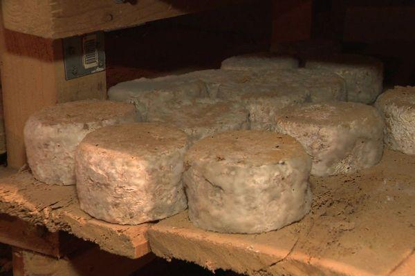 En Haute-Loire, une trentaine de producteurs d'artisous, des fromages affinés aux acariens, souhaitent obtenir une AOP.