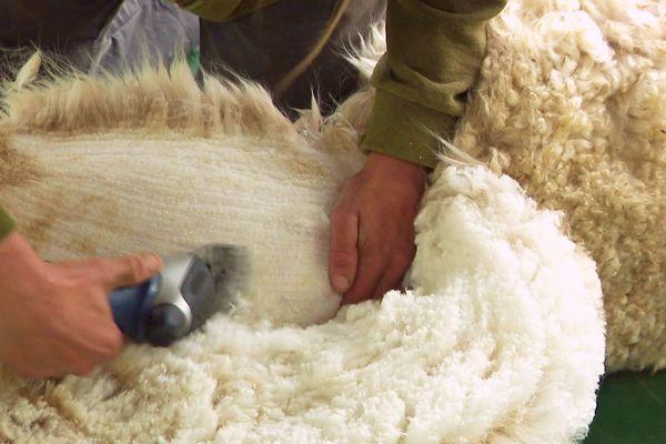 L'alpaga est un animal à poil laineux.