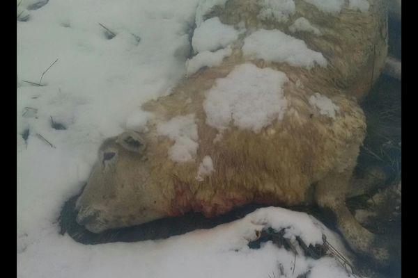 Une des quatre brebis tuées dans son pâturage à Arraincourt.