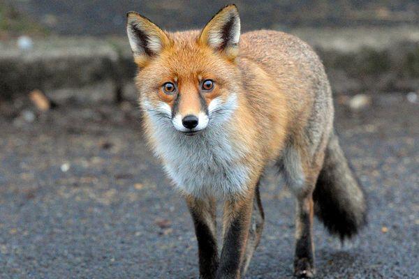Lille : la présence du renard avérée dans la ville