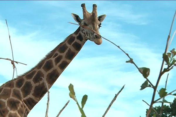 La girafe n'est pas franchement dérangée par la canicule mais il faut quand même qu'elle se rafraîchisse.