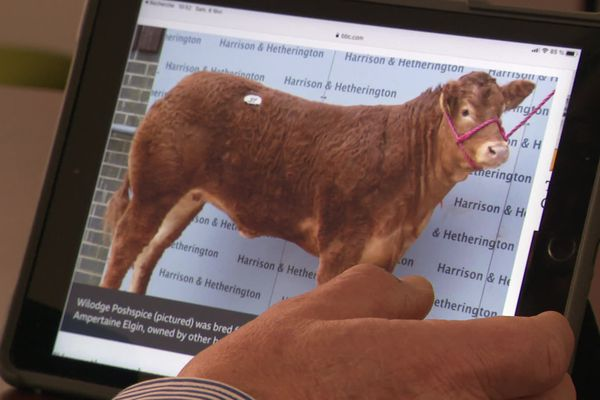 La vache limousine Posh Spice adjugée 299 000 € lors d'une vente aux enchères en Angleterre le 4 février