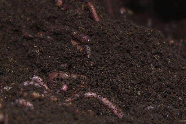 Un vers de compost ou lombric mange entre 0,5 et 1 fois son propre poids par jour. 2 kg de vers vont composter quotidiennement 2 kg de déchets organiques.